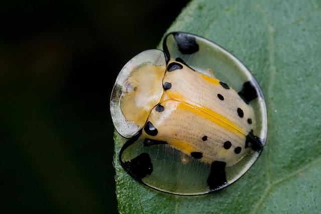 Kwento of Beetle