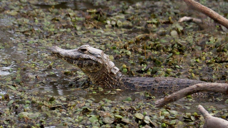 Un caimán busca agua a raíz de la sequía. Foto: EFE / Andrés Cristaldo