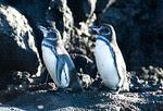 Galapagos Penquins