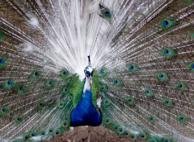 Burung merak atau Peacock yaitu salah satu spesies burung yang masuk dalam penjabaran g Gambar Burung Merak Paling Cantik Di Dunia