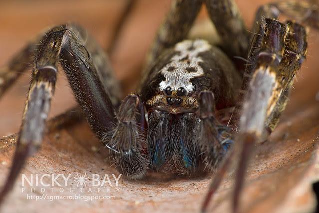 Wandering Spider (Ctenidae) - DSC_6438
