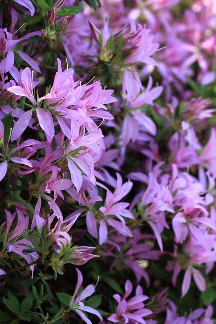 Azalea / Rhododendron macrosepalum f. hanaguruma / 餅躑躅(モチツツジ)「花車(はなぐるま)」