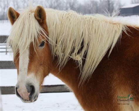 Wonderful Haflinger Horse ? WeNeedFun