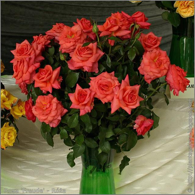 Rosa 'Freude' - Róża