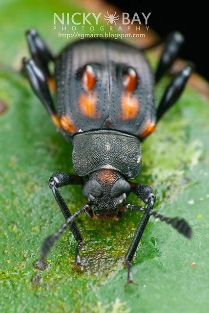 Darkling Beetle (Tenebrionidae) - DSC_3831