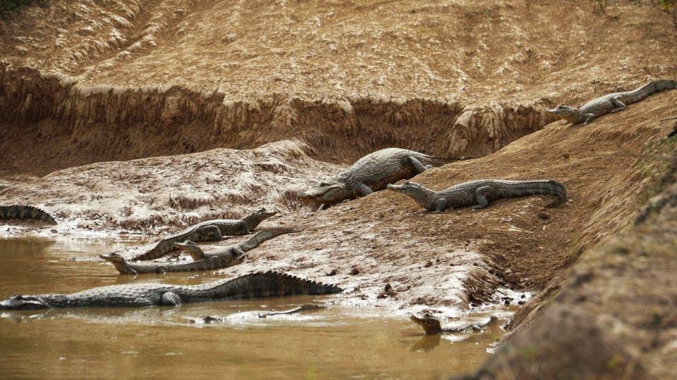 Un grupo de caimanes que buscan agua a raíz de la sequía. Foto: EFE / Andrés Cristaldo