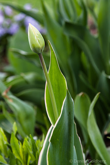 an early tulip, closed