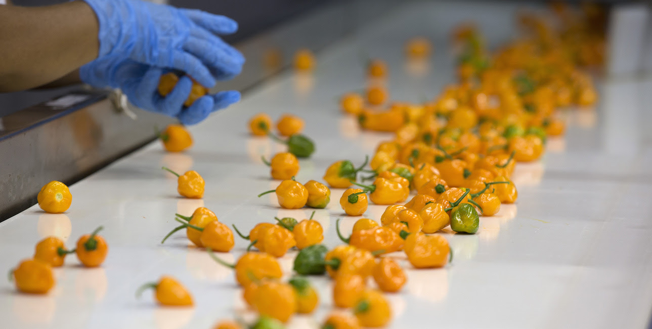 Habanero Chile Harvest And Production In The Yucatan Region