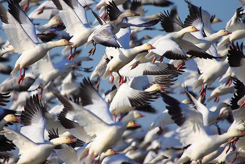 IMG_9365 Snow Geese, Sacramento NWR