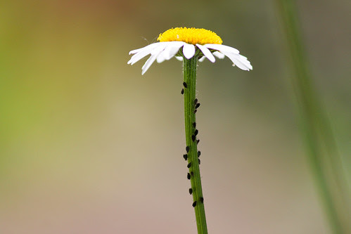 Marguerite with aphids