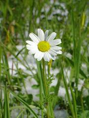 Λουλούδι στο Χιόνι