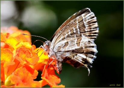 Mariposa del geranio: plagas