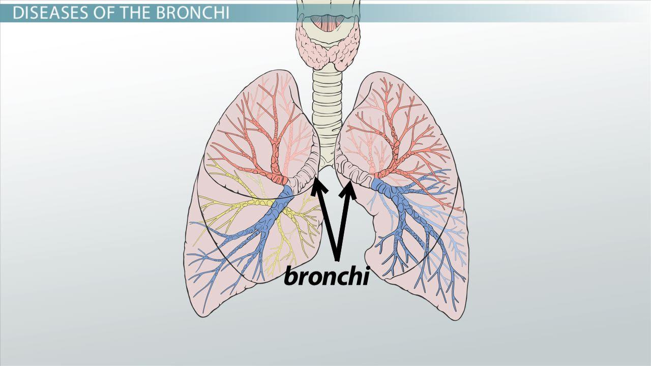 bronchi anatomy function definition_01030606_110146