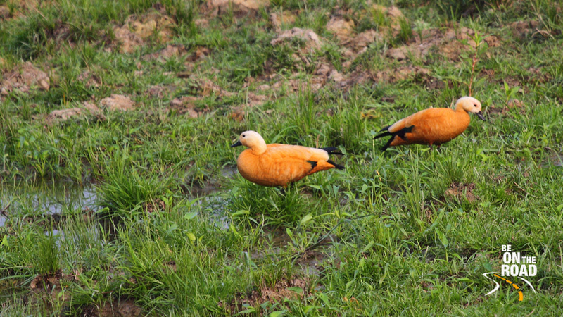 Ruddy Shelduck from Kaziranga marshlands, Assam