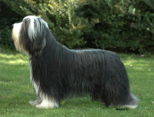 """black and white dog breeds. """"Joe"""" a Bearded collie, black and white, long hair, 3 year old male"""