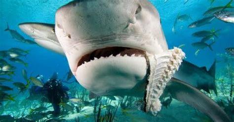 gambar ikan hiu gambar keren  unik wallpaper foto