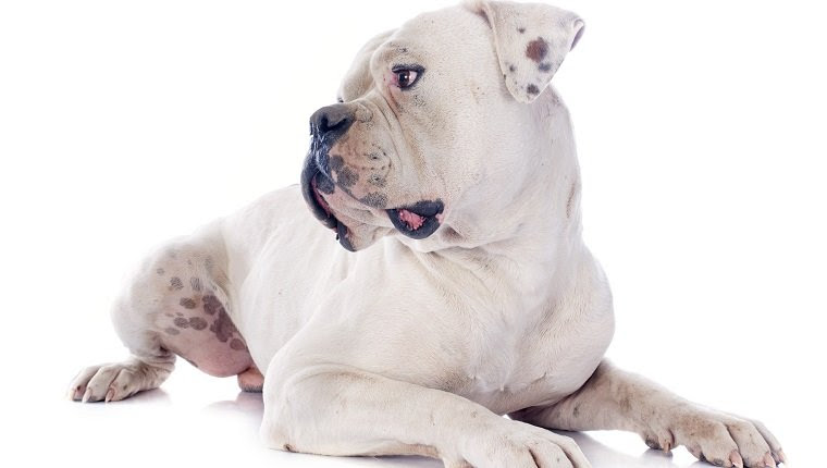 American Bulldog Breed Information  Pictures – Dogtime
