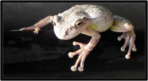 Tree frog by debscrochet