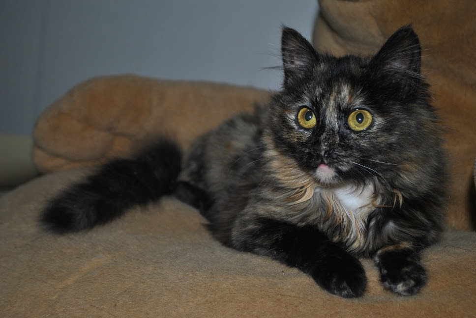 torti kitten with gold eyes laying on brown cushion