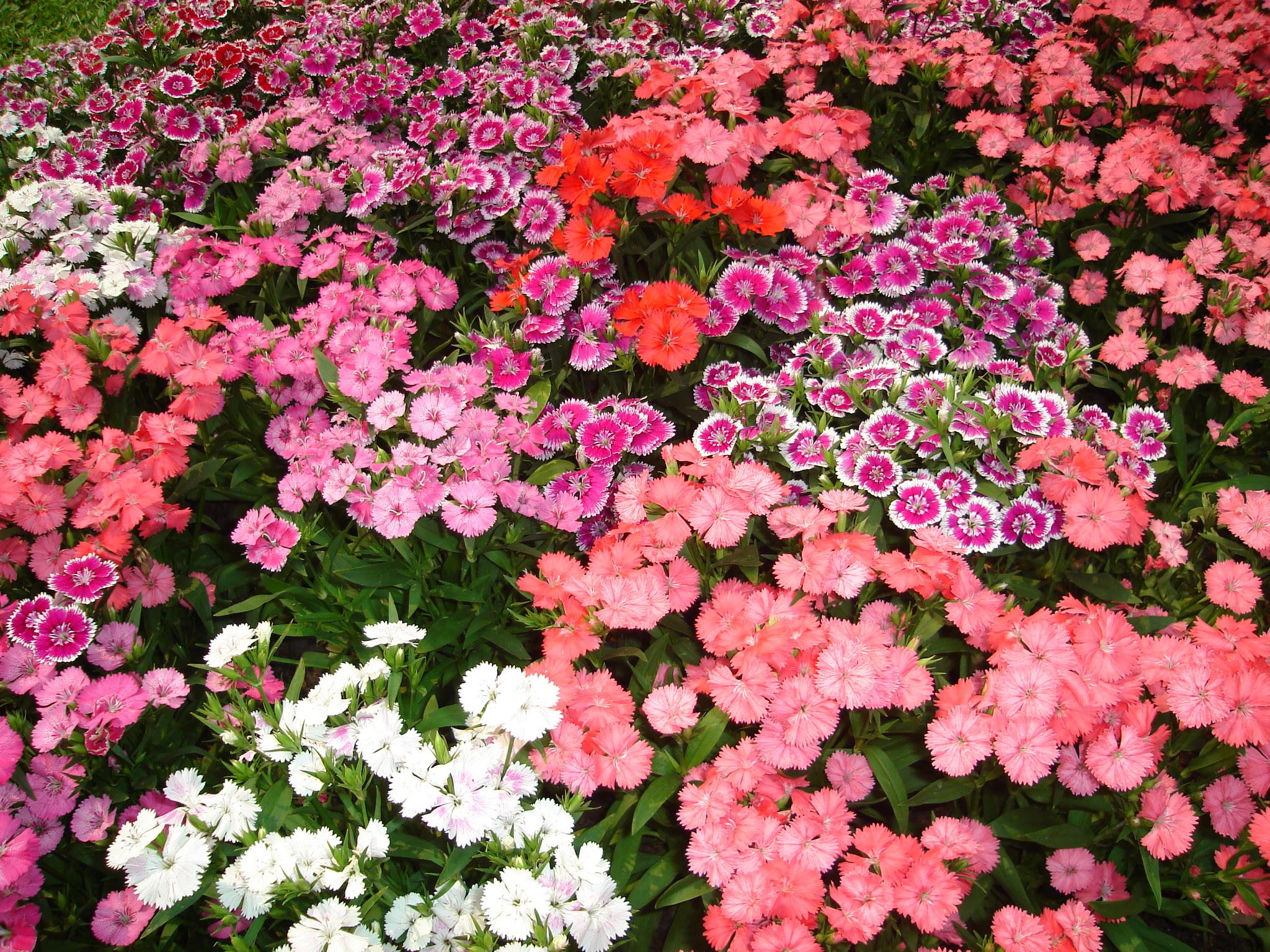 Description Flower garden found in Tak Thailand 1.jpg