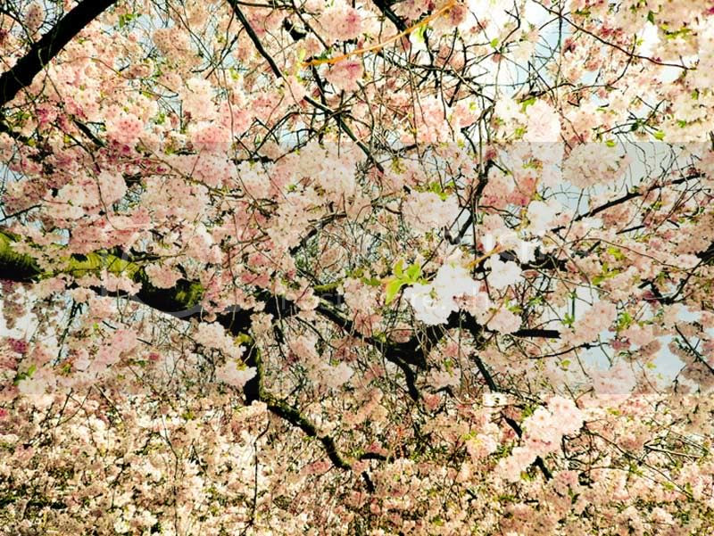 flowers,blossom,peach,pink,tree