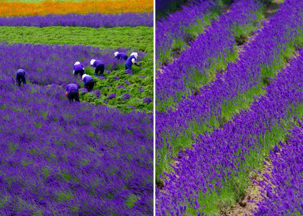 Hipnóticas fotos da colheita dos campos de lavanda 03