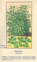 legume14 cerfeuil