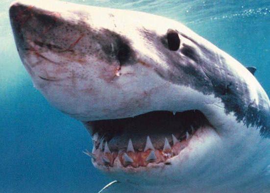 Resultado de imagem para imagens de tubarões