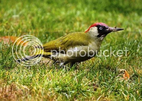 photo 02 Weasel Riding Woodpecker_zpsyxdjxood.jpg