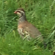 red-leggedpartridge.jpg