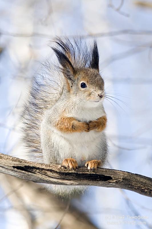 Squirrel on a twig 5