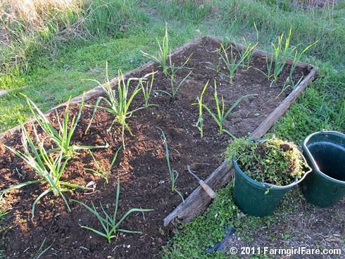 3 Volunteer hardneck garlic in my kitchen garden on 4-5-11 - FarmgirlFare.com