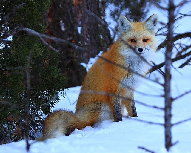 IMG_4759 Red Fox, Yellowstone National Park