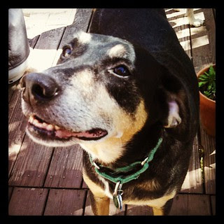 Smiling goofball #dogstagram #adoptdontshop #smile
