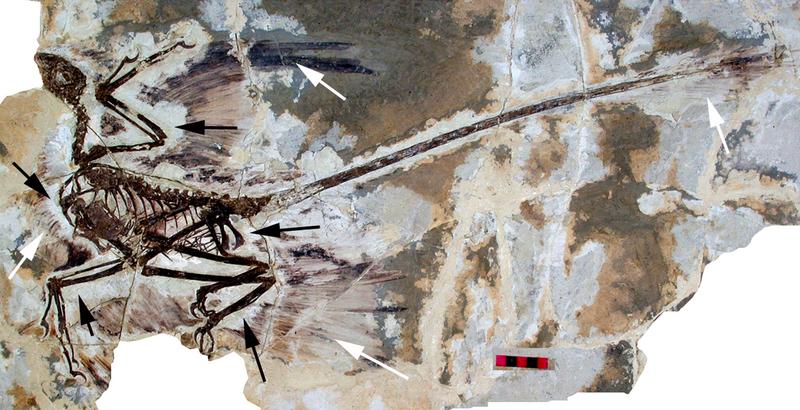 File:Microraptor gui holotype.png