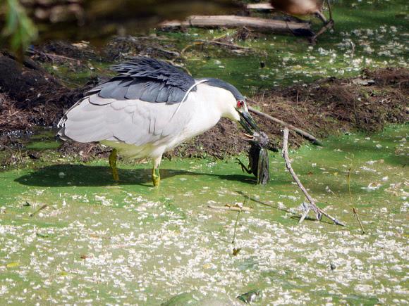 Ed Gaillard: birds &emdash; Black-Crowned Night Heron eating a starling
