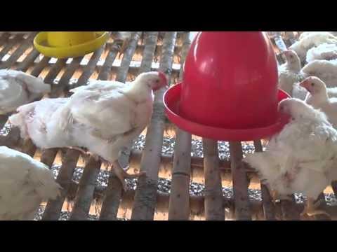 Peluang Usaha Bisnis Ternak Ayam Potong Mudah Dan ...