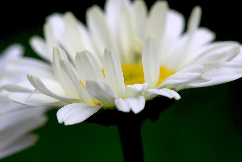fresh as a daisy 2