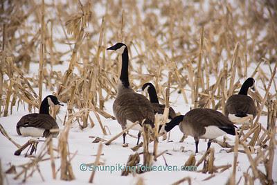 Canada Geese in Cornfield, Waukesha County, Wisconsin