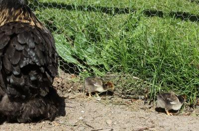 To kyllinger 14 juni 2012
