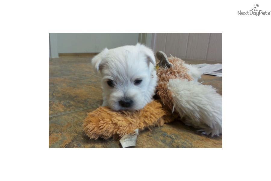 West Highland White Terrier - Westie puppy for sale near Missouri USA