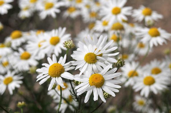 carpet of daisies