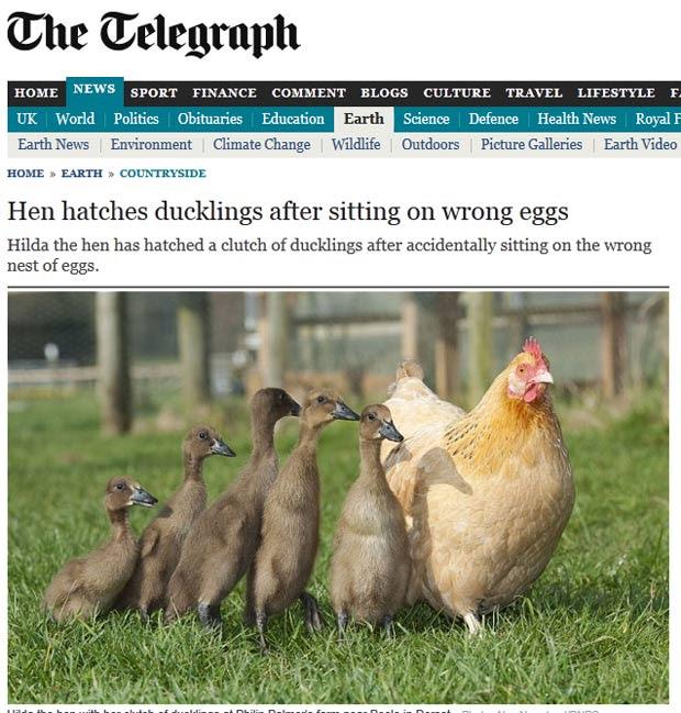 Galinha 'Hilda' chocou uma ninhada de patinhos acidentalmente. (Foto: Reprodução/Daily Telegraph)