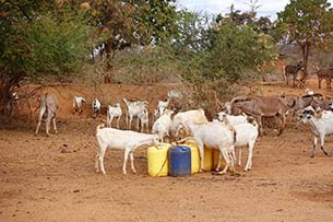 Using microfinance loan to buy goats and multiply them