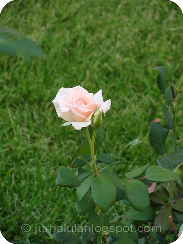 =un trandafir ingradina=