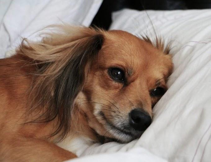 ¿Cuál es la temperatura normal en perros?