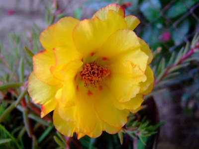 Yellow moss rose picture
