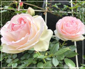 最後に撮った写真がこの薔薇でした。上品な淡いピンクとほんのり緑。