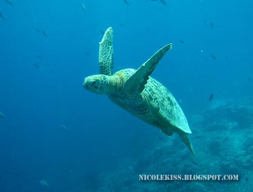 flying turtle 2
