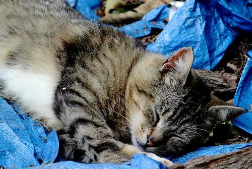 Feral Tabby Cat Asleep